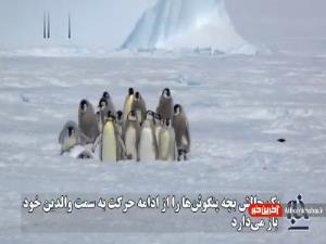 تاکتیک دفاعی بچه پنگوئنها در مقابل مهاجم