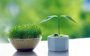 طرز تهیه سبز کردن سبزه با عدس