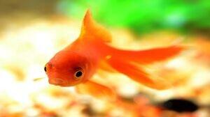 ماهی قرمز کرونا دارد؟