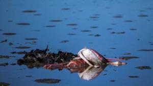 روی دیگر مرگ پرندگان در خلیج گرگان و میانکاله را دیده اید؟