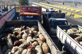 سارق ۱۳۰ راس دام در اسلام آبادغرب دستگیر شد