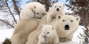 روزِ شادِ خانواده خرس قطبی