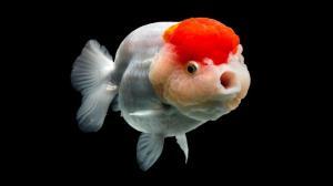 امکان انتقال کرونا با ماهی هفتسین وجود دارد؟