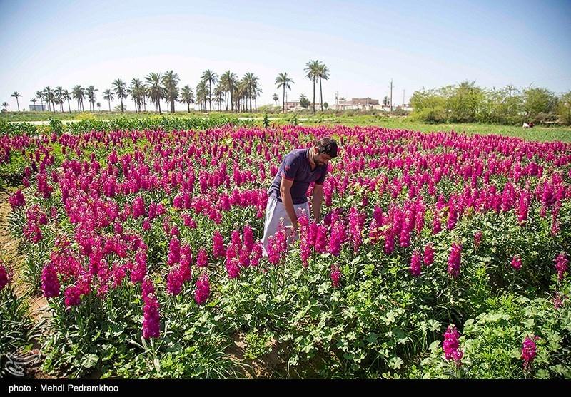 عکس/ برداشت گل در روستای «شبیشه» خوزستان