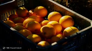 افزایش ۲ برابری عرضه پرتقال در بازار