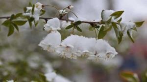 سرمازدگی درختان میوه در مشهد