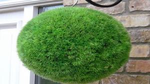 نحوه کاشت سبزه توپی به روشی آسان در منزل