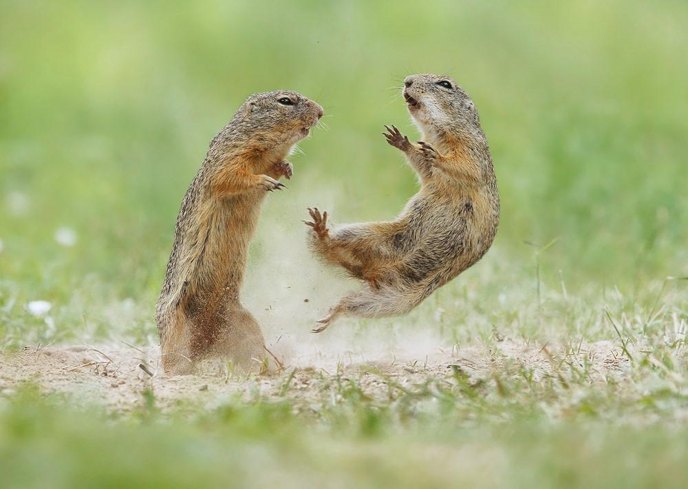 ژست های جالب سنجابهای بیابانی