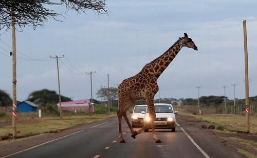 عبور یک زرافه از جاده در کنیا