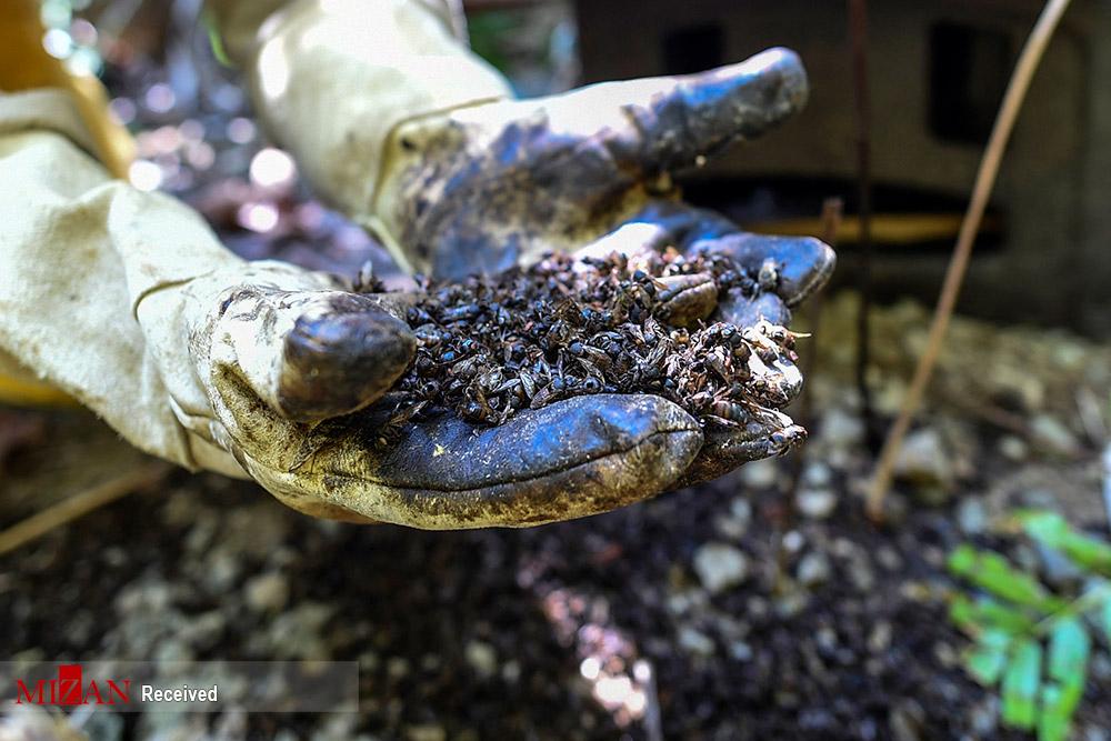 عکس/ آووکادو قاتل زنبورهای عسل در کلمبیا