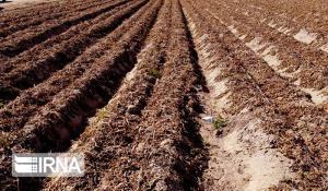 سرمازدگی ۲۴۹ میلیارد تومان به محصولات زراعی و باغی اصفهان خسارت زد