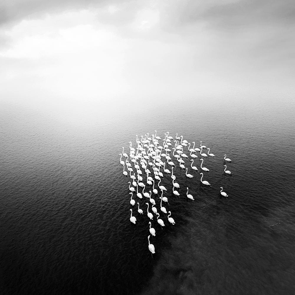 فلامینگو ها در مه