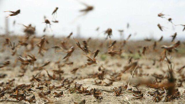 هشدار به کشاورزان گناوه درخصوص حمله احتمالی ملخهای صحرایی