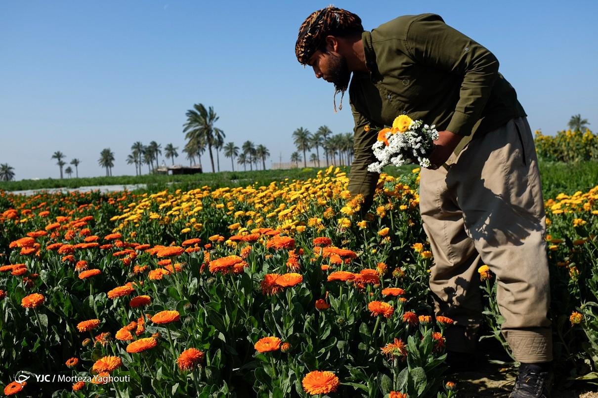 برداشت گلهای بهاری در خوزستان
