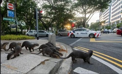عبور یک خانواده سمور وحشی از خط کشی خیابان!