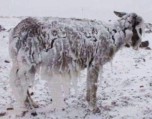 یخ بستن حیوانات در دمای منفی ۵۱ قزاقستان
