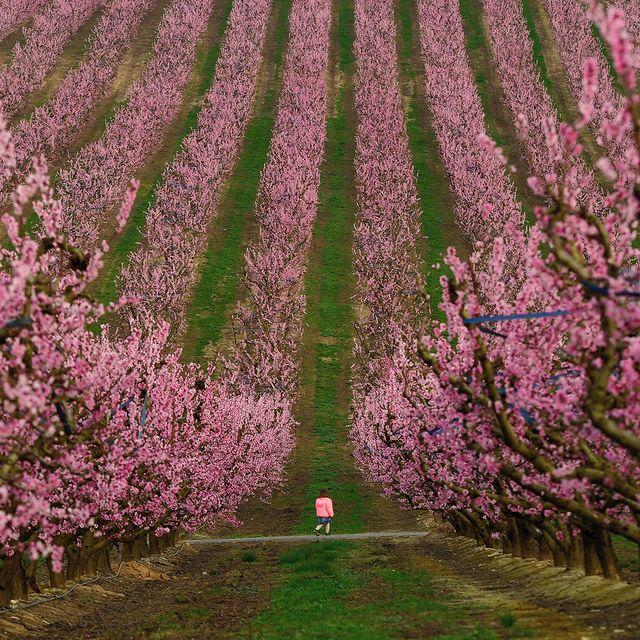شکوفایی درختان هلو در کاتالونیا
