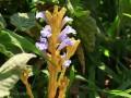 کاهش قندخون با گل جالیز