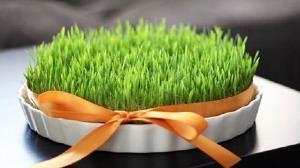 چطور برای عید سبزه گندم بکاریم؟