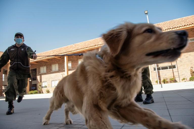 سگهای پلیس کشورهای آمریکای لاتین کرونا را از روی عرق مبتلا تشخیص میدهند