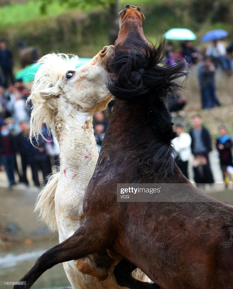 جنگ اسب ها در «لیوزو» چین