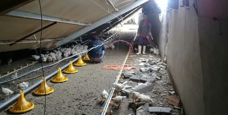 برف مرغداران جغتایی را به خاک سیاه نشاند؛ تلف شدن ۷۰ هزار جوجه مرغ گوشتی