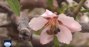 شکوفههای بهاری در کوچه باغهای «درجزین»