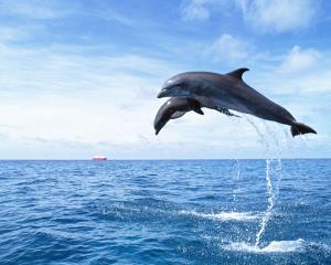 صحنه ای جالب از شنای دلفین و بچه اش در دریا