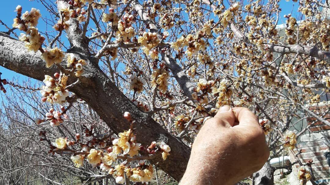 سرما ۲۶ میلیارد به کشاورزان جاجرمی خسارت زد