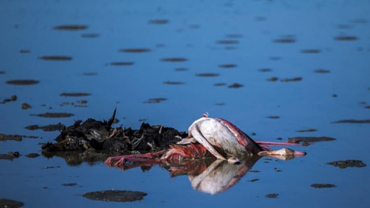 پایان زمستان گذرانی مرگبار مهمانان سیبری در میانکاله