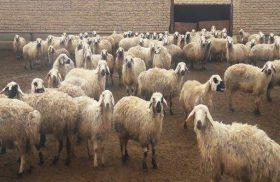 دستگیری سارق و کشف ۲۴ رأس گوسفند مسروقه