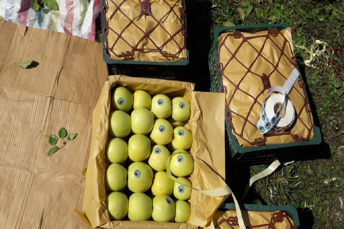 ۱۳ درصد سیب تولیدی اشنویه در سردخانهها باقی است