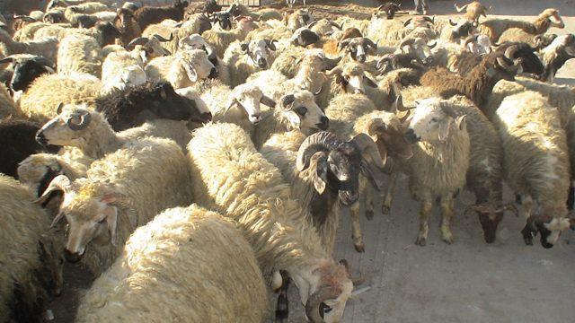 قاچاق ۲۷۵ رأس گوسفند از جنگلهای بندرعباس