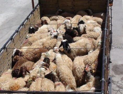 کشف ۱۶۰ رأس دام قاچاق در کرمانشاه