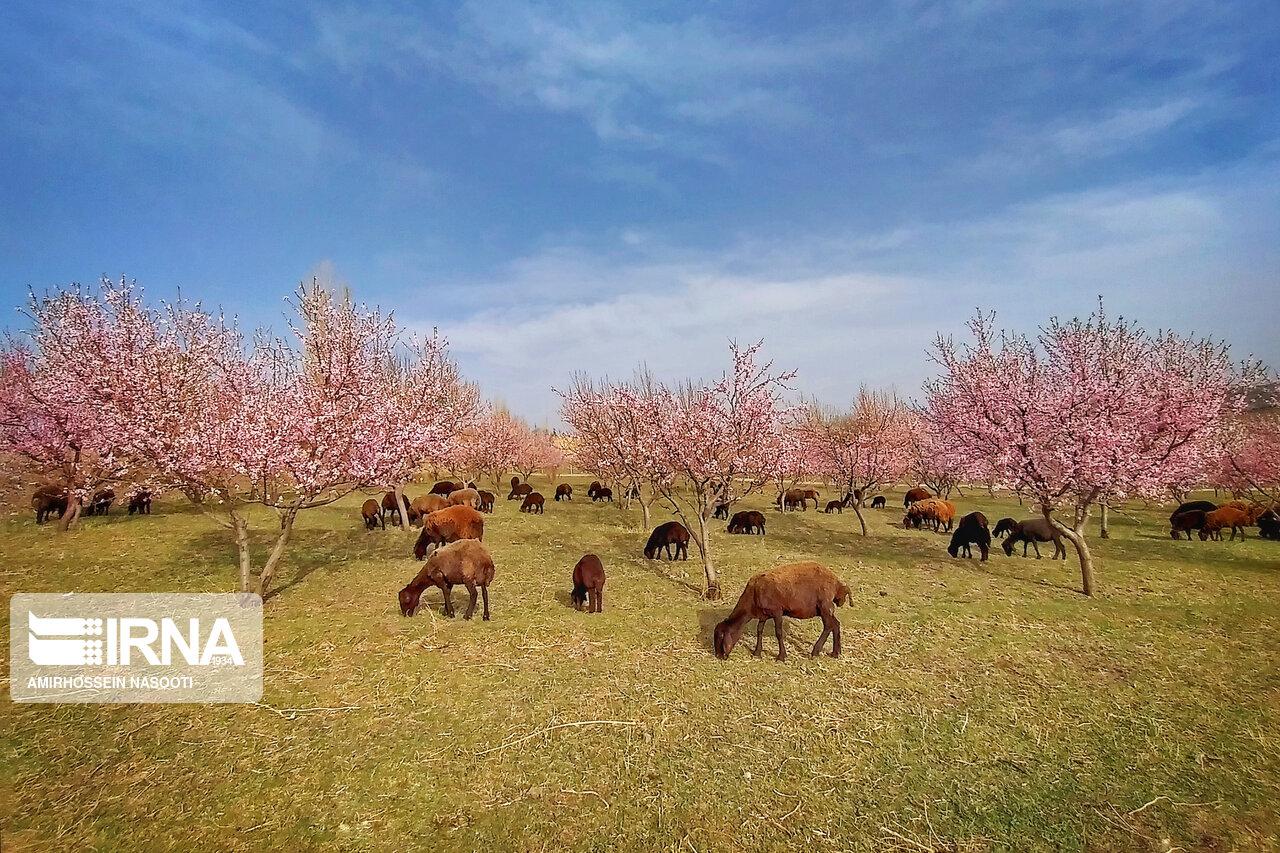 جلوه زیبای بهار در زنجان