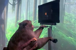 یک میمون با ایمپلنت مغزی نورالینک بازی Pong را انجام داد