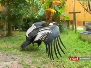 ویدئویی جالب از «کرکس آند» یکی از بزرگترین پرندگان دنیا