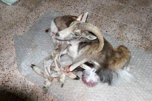 کشف و ضبط لاشه یک رأس قوچ وحشی در قاینات