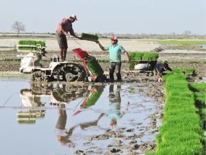 نخستین نشاء مکانیزه برنج کشور در محمودآباد