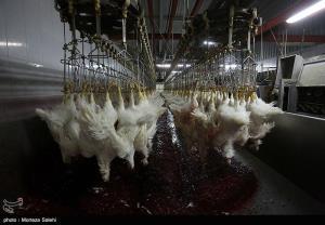 ماجرای مرغهای تریاکی در اصفهان چه بود؟