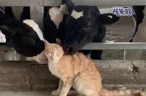 ابراز علاقه عجیب و خندهدار چند گاو به یک گربه