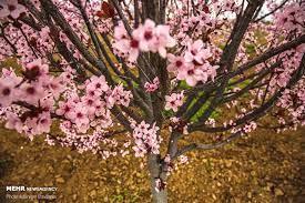 شکوفه های زیبای بهاری در چین