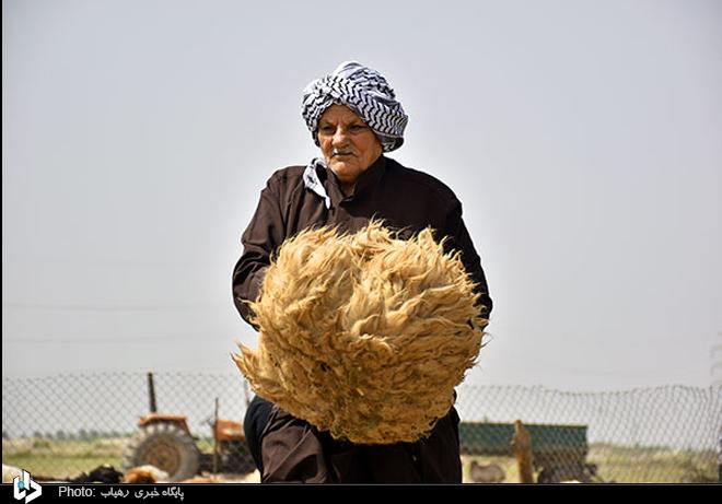 پشم چینی گوسفندان در اهواز