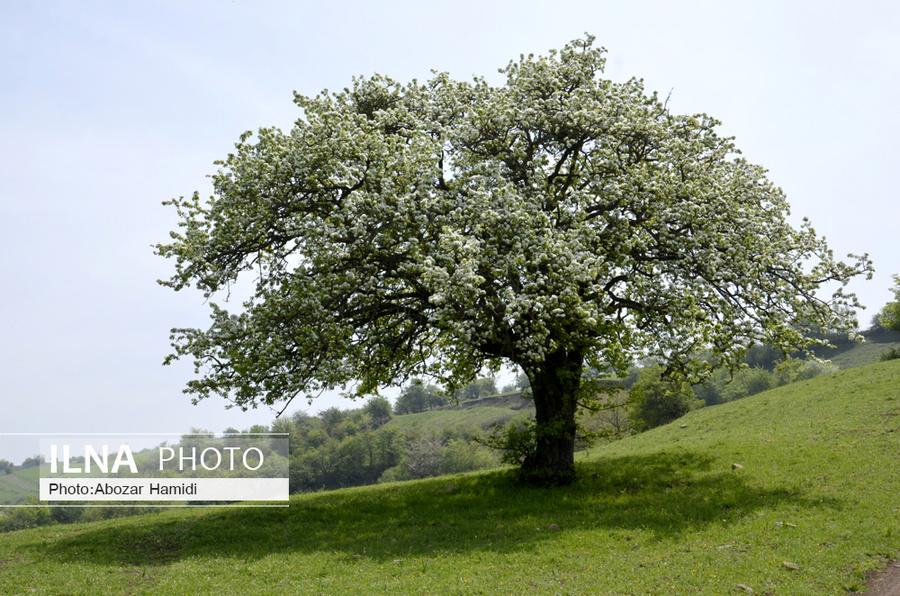 شکوفه های بهاری گیلان