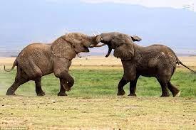 دعوای دو فیل وسط جاده