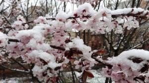 سرمازدگی ۱۰ تا ۱۰۰ درصدی محصولات کشاورزی جنوب استان همدان