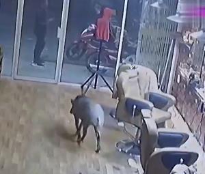 حمله یک گراز وحشی به یک آرایشگاه