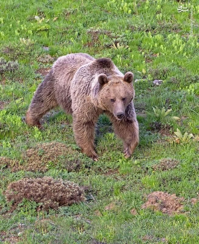 عکس/ خرس قهوهای در ارتفاعات مرزی سمنان و مازندران