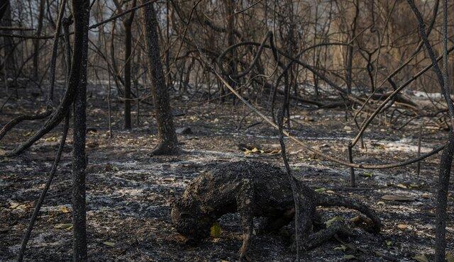 حیوان سوخته در آتش سوزی جنگل های برزیل