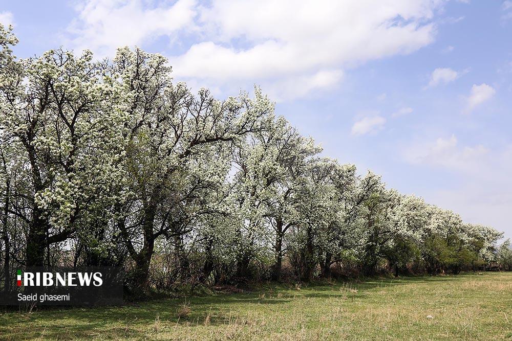تصاویری زیبا از شکوفههای گلابی در اهر